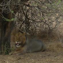 Swahili: løve = simba. Fantastisk nydelige dyr.
