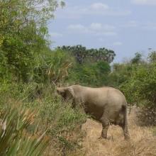 """Elefant. De forsvant raskt bak buskene… Dette var en hel flokk, med store og små. Det er visstnok mange elefanter her. Det kunne vi se på mengden av """"drops"""" de hadde gjort over store områder vi kjørte gjennom."""
