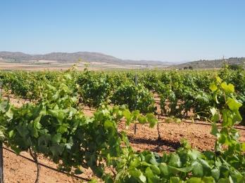 Drueranker med forskjellige druesorter - for den perfekte vinen