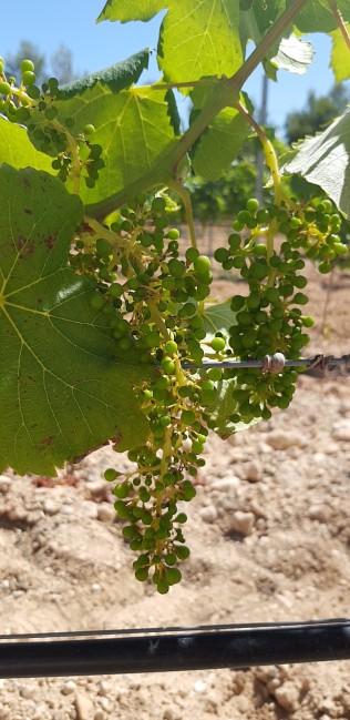 Når det kommer til Casa Boqueras størrelse på innhøstede druer er det ikke størrelsen det kommer an på! Jo mindre druen er, jo mer smak gir den til vinen!